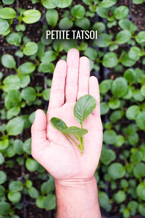 petite-tatsoi-kendall-jackson-gardens