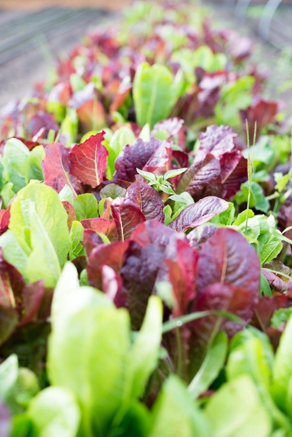 lettuce-kendall-jackson-garden