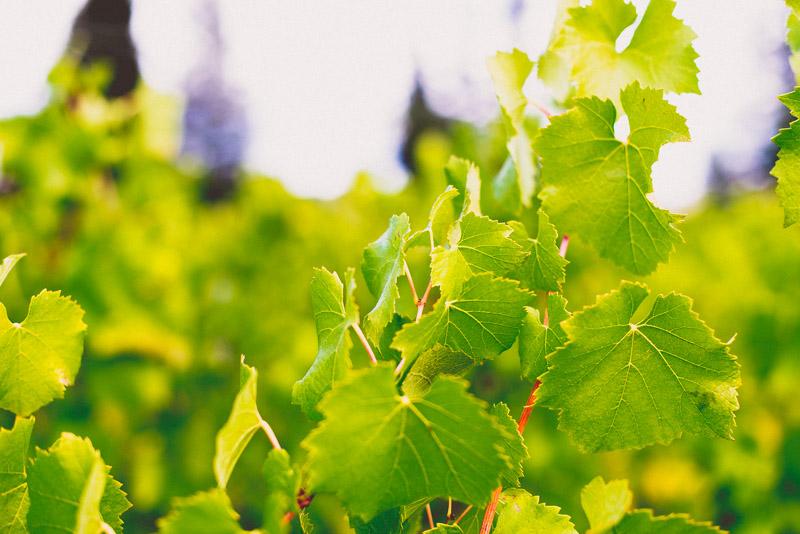 Kendall-Jackson Chardonnay Vines