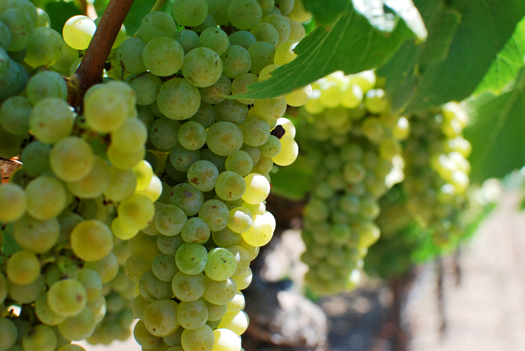 chardonnay-grapes-during-veraison-1024x685