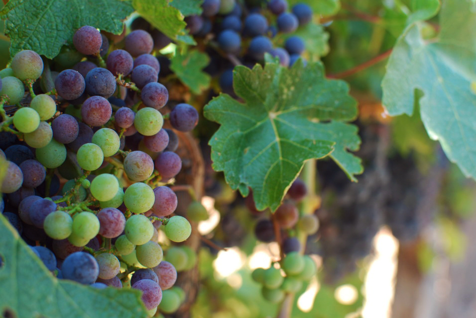 grapes-during-veraison-2-1024x685