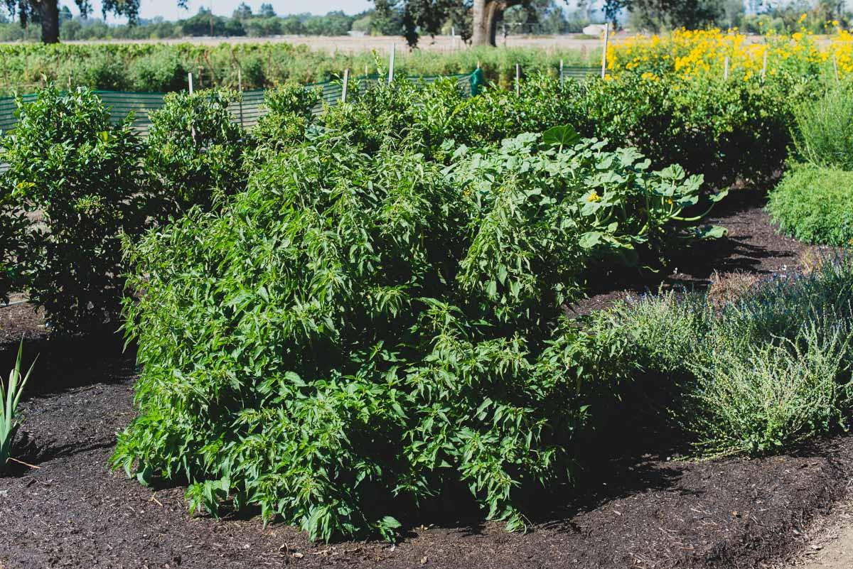 Take a Trip into the Kendall-Jackson Gardens - Heirloom Tomato Festival Edition #KJTomFest
