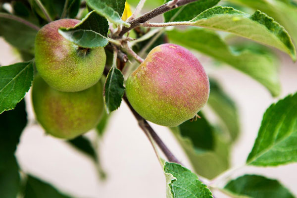 Sonoma County Gravenstein Apple Fair Sebastopol
