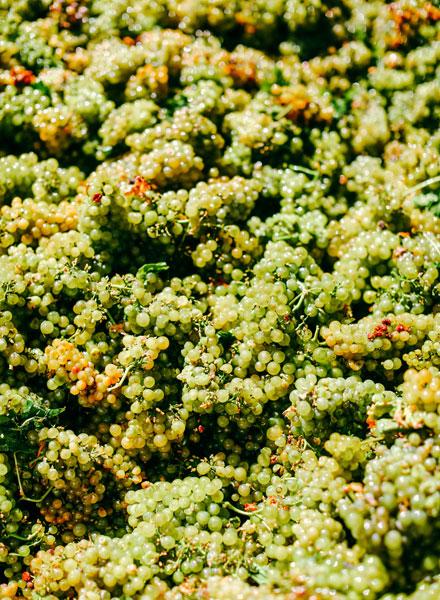 kendall-jackson-chardonnay-grapes