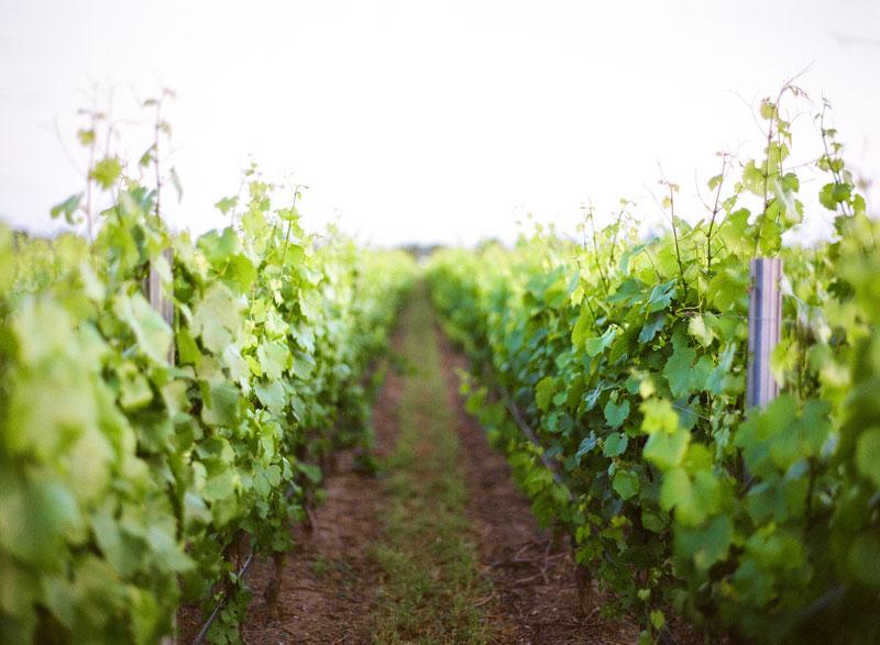 kendall-jackson-chardonnay-vineyard