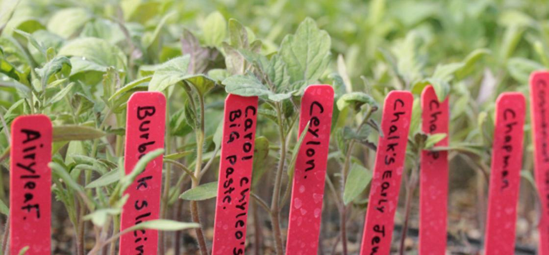 tomato plants_sized
