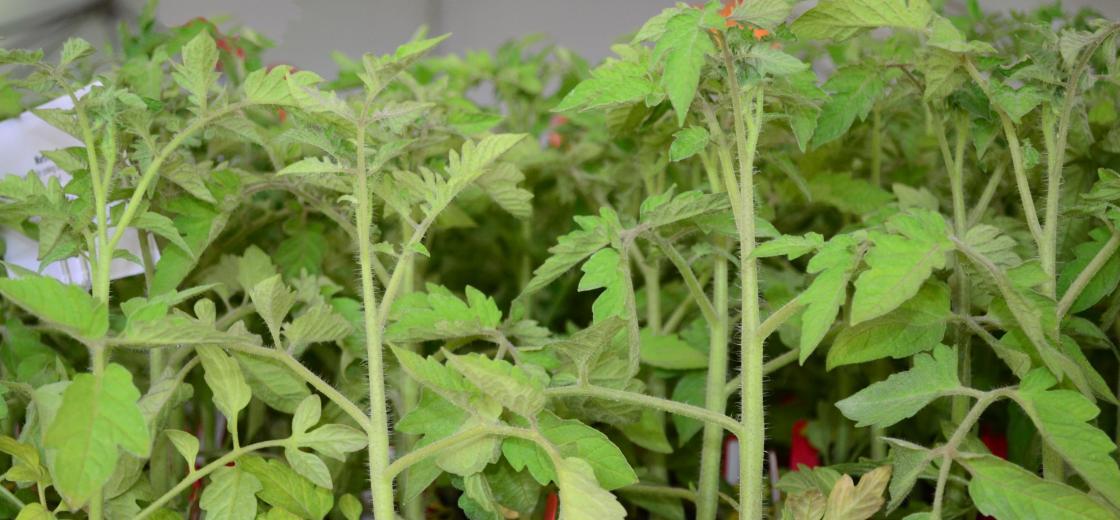 Tomato Plant Sale_1