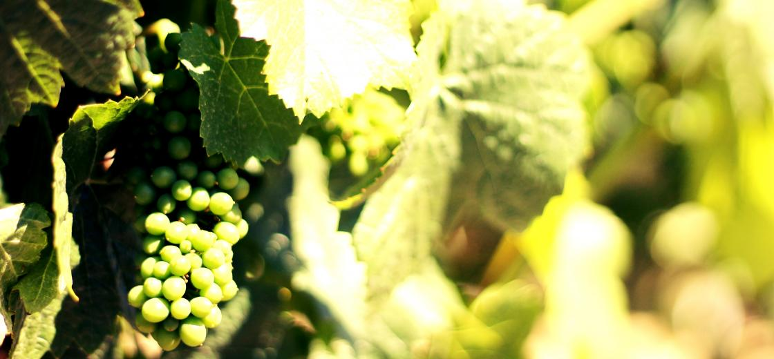 Early Summer In The Vineyard