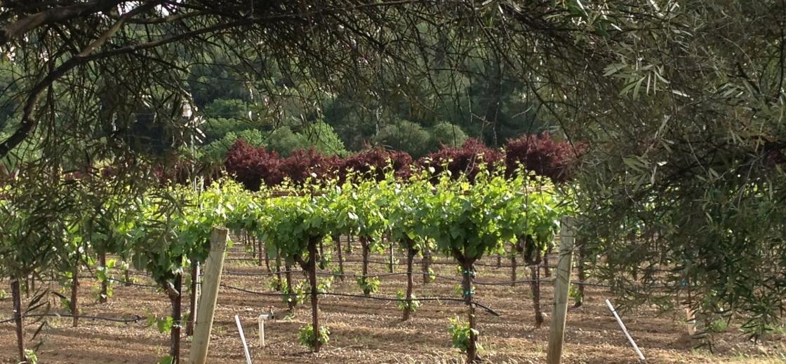 vinwoodchardonnyandolivetrees