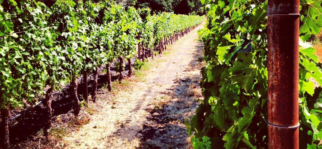 vineyard_062113