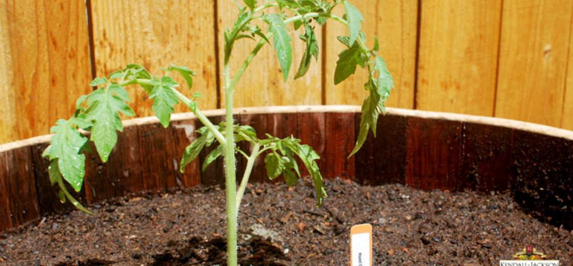 DIY: How to Plant and Grow Heirloom Tomatoes
