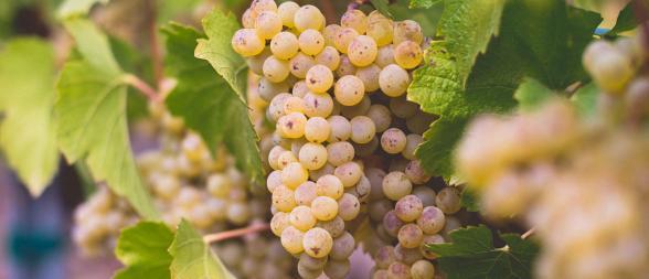 kendall-jackson chardonnay grapes