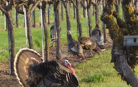 Turkeys At The Wine Center