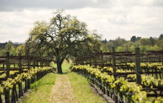Tree In Rows Vineyard