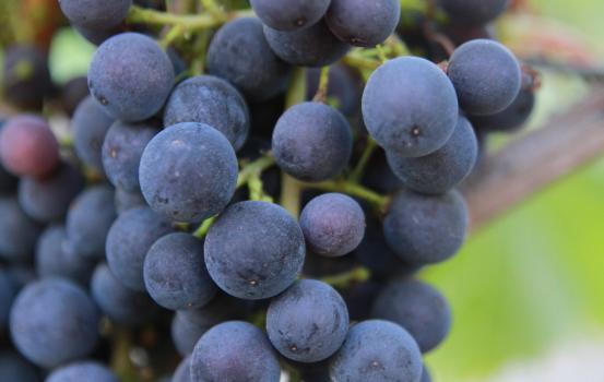 Grapes Upclose
