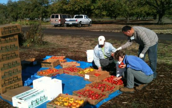 Gleaners And Tomatoes