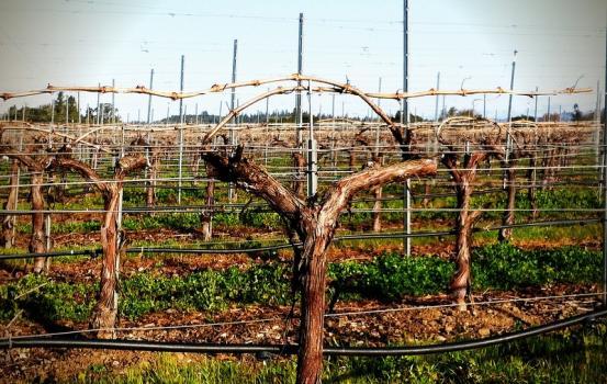 Converted Cabernet Sauvignon Vine