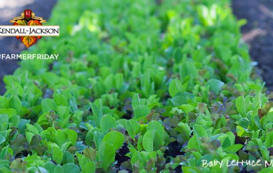 KJ_baby_lettuce_071213_blog