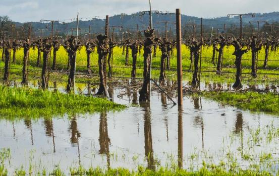 While not having a vineyard parched dry seems good, what do extremely wet conditions do to grape vines?