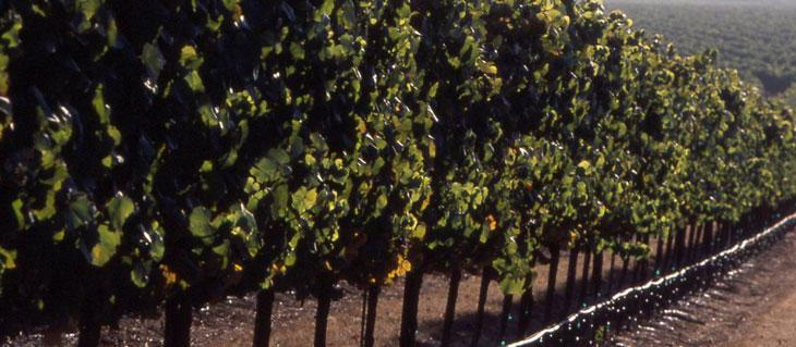 Kendall-Jackson Lake County Vineyard